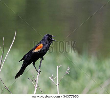 Red-winged Blackbird Screeching