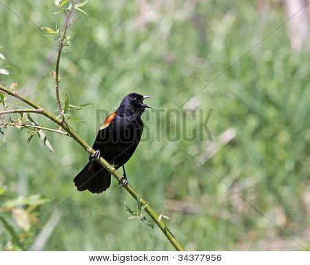 Speaking Red-winged Blackbird