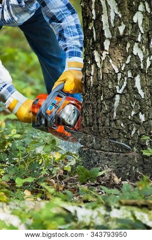 The Lumberjack Cutting The Birch In The Forest