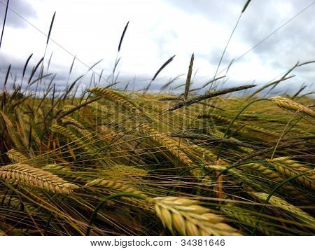 Wheat ripening under cloudy skies
