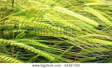 A close up shot of ripening Wheat