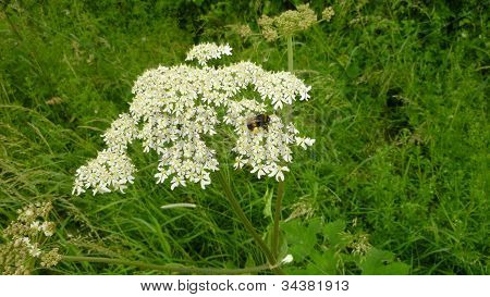 Cow Parsley being examined by a bee
