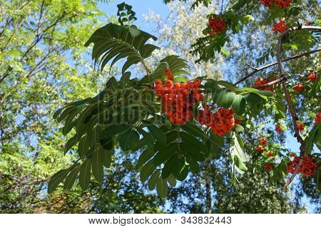 Vibrant Orange Berries Of Sorbus Aucuparia In September