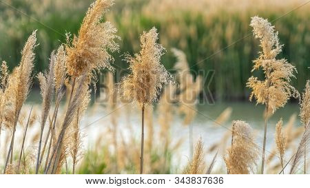 Pano Frame Close Up Of Natural Brown Grasses Growing Around A Lake Viewed On A Sunny Day