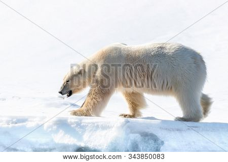 Adult male polar bear walks in the pristine snow of Svalbard, a Norwegian archipelago between mainland Norway and the North Pole