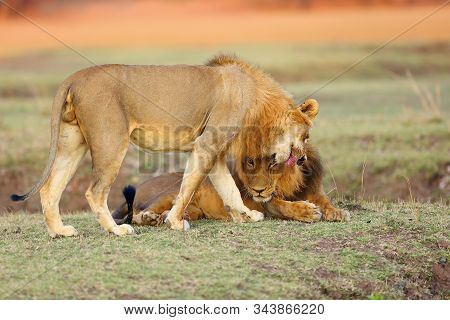 A Southern Lion (panthera Leo Melanochaita) Also As An Eastern-southern African Lion Or Eastern-sout