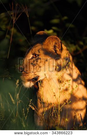 Lioness, African Lion, (panthera Leo) Hiding In The Dark From A Spotligt. Portrait Of A Lioness In T