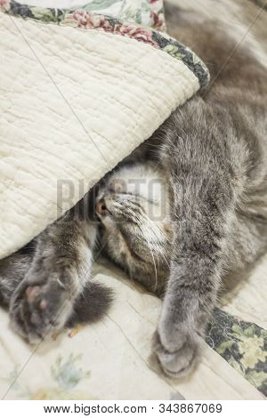 A Cute Gray Cat Peeks Out From Under The Covers. Sleeps At Home, Relaxation, Stratification, Rumblin
