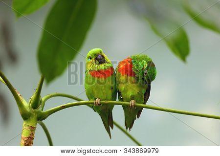 Salvadori's Fig Parrot ,psittaculirostris Salvadorii, Pair Of Green Parrots Sitting On Tropical Tree