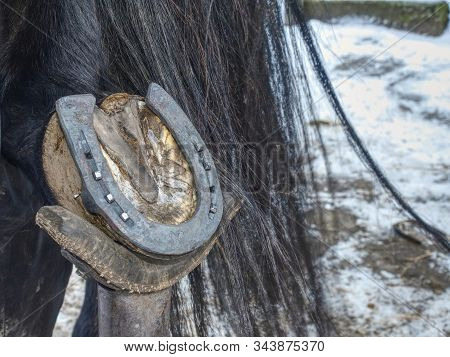 Farrier Use Nail And Hammer On New Forged Horsesshoe  On Horse Hoof, Close Up On The Nail In Hand