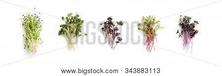Assortment Of Micro Greens. Growing Kale, Alfalfa, Sunflower, Arugula, Mustard Sprouts, Panorama, He