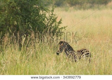 A Mountain Zebra (equus Zebra) In Grassland With Green Grass In Background. Young Zebra In Pilanesbe