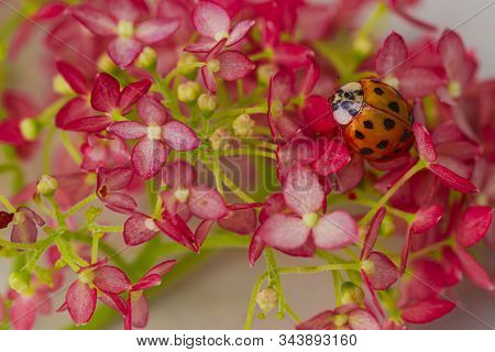 Insects, Ladybug Close-up. Soft And Selective Focus.ladybug Sits On A Flower