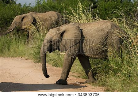 Two Young Elephants (loxodonta Africana) In Pilanesberg National Park (game Reserve) Walking From Sa