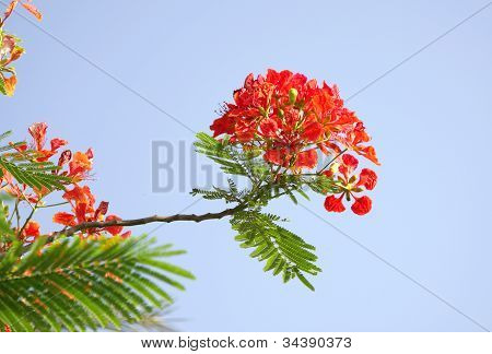 Gulmohar flowers on blue sky