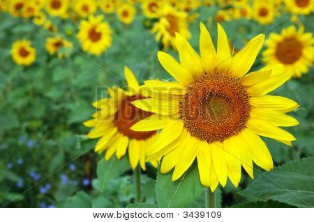 Sunflower Over Field Background