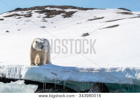 Adult male polar bear stands at the edge of the ice in Svalbard, a Norwegian archipelago between mainland Norway and the North Pole