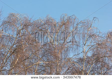 View Of Birch Trees Crones With Iced Branches On Blue Sky In Winter