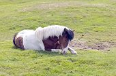 The Icelandic horse resting on the grass poster