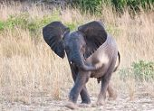 Small elephant throwing sand on his body while walking through the grass land poster