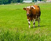 Cow walking on the grass in a field poster
