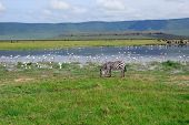 A zebra on the lake shore in Ngorongoro crater poster