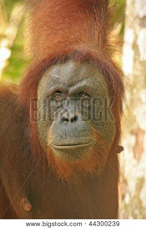 Portrait Of Female Orangutan, Sumatra, Indonesia