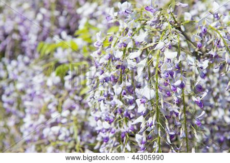 Flowers Of Wisteria