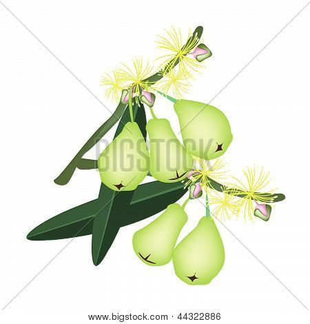 Green Water Apples And Blossom On White Background