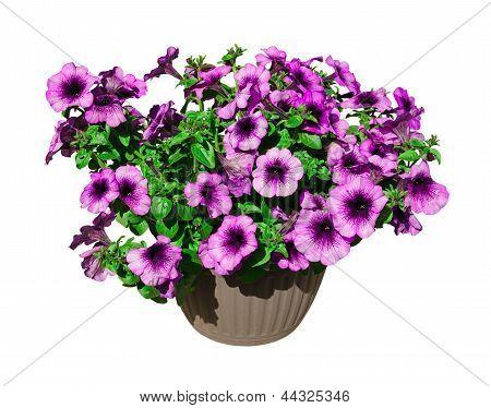 colorful petunia in a flowerpot
