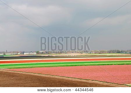 Fields Of Tulips And Hyacinths
