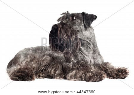 czech terrier breed dog