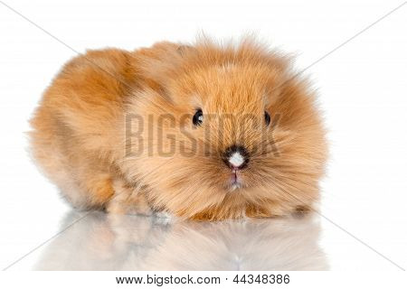 adorable tiny baby rabbit isolated on white poster