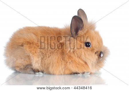 adorable fluffy baby rabbit isolated on white poster