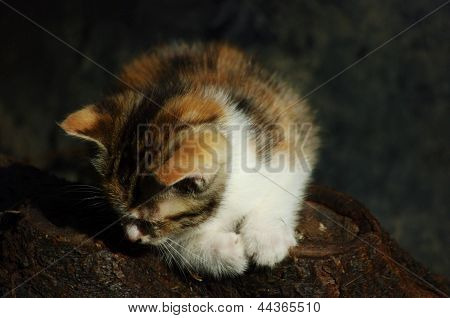 A lone feral kitten sits on a log poster