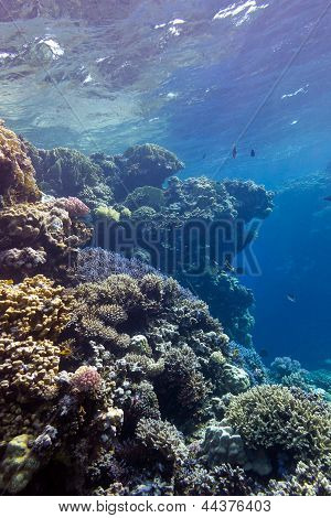 coral reef with great hard corals at the bottom of red sea in egypt poster