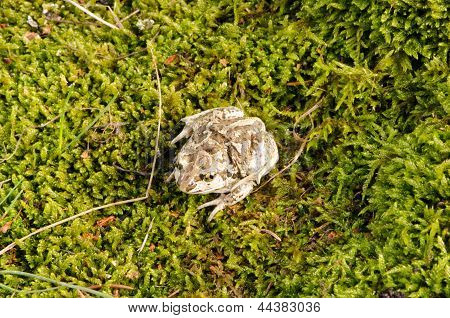 Garlic Spadefoot Toad Pelobates Fuscus Moss