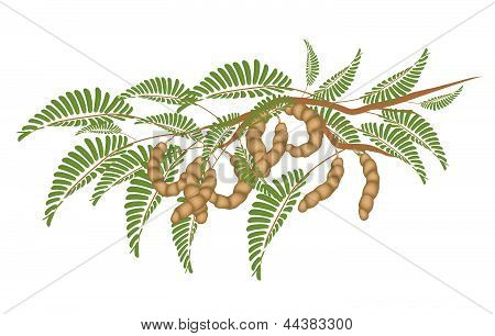 Fresh Fruits An Illustration Fresh Brown Ripening Pods of Tamarind and Green Leaves Hanging on Tree Branch. poster