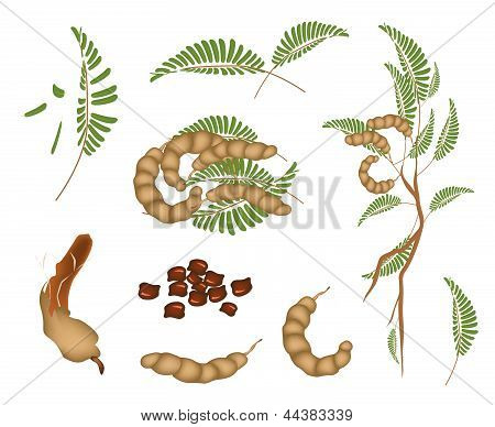 Fresh Fruits An Illustration Collection of Fresh Brown Ripening Pods of Tamarind Green Leaves and Seed Isolated On White Background. poster
