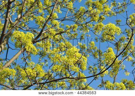Flowerig Maple