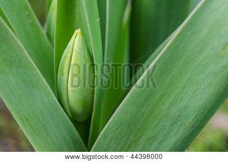 Before Flowering Tulip.