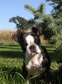 Boston Terrier looking though and Pine tree poster