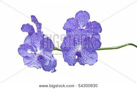 Blue Orchid (vanda Sansai Blue) Isolated On White Background.