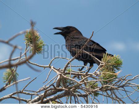 Large Black Bird At Grand Canyon