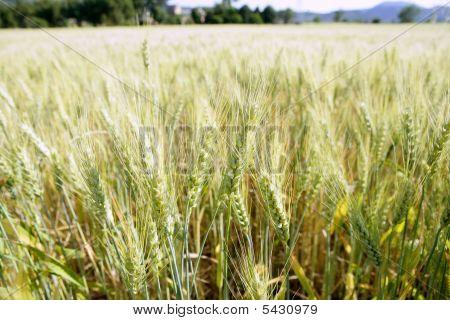 Green Wheat Field Detail