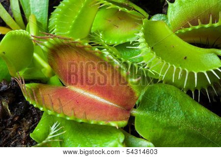 Venus flytrap leaf