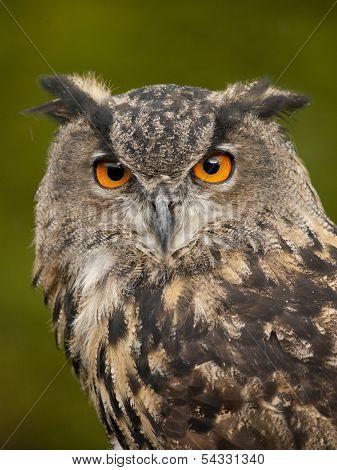 Portrait Of A Eurasian Eagle-owl (bobu Bubo)