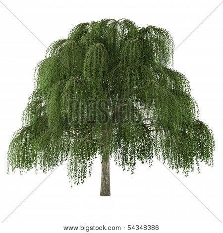 Tree . Salix willow