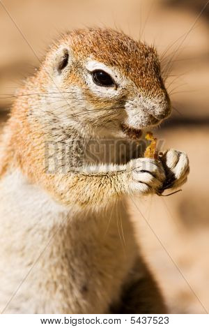 Watchful ground squirrel eating a piece of fruit poster