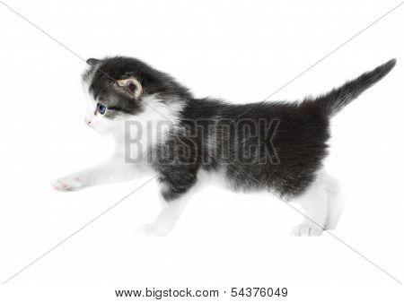 Little Cute Kitten Isolated